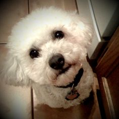 My sweet poodle, Dolly. Because she has Dolly Parton hair!