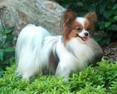 Papillions originated in France. Papillion's are an extremely intelligent breed of toy dog and easy to train, loyal, obedient, playful, low maintenance. Average life span 16-21 yrs.