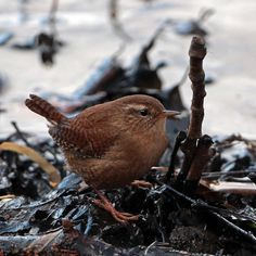 Wren - Taken at the waters edge at Gnoll grounds Neath.