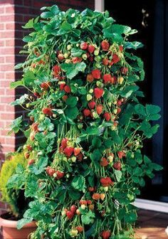 Growing Strawberries Vertically | My Raised Bed Vegetable Garden... Many excellent tips in the comments here too #vegetablegardening #growingvegetablescomment #raisedgardenbeds #raisedvegetablegardening #vegetablegardeningraised