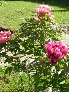 Pink peonies at La Selva vacation villa's garden.  Lush, soft, fragrant, vibrant.  Photo by Sherry Mason