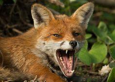 Angry Fox by Giedrius Stakauskas Lynx, Angry Fox, Taxidermy Fox, Female Fox, Fox Illustration, Art Illustrations, Fantastic Fox, Fox Pictures, Mr Fox