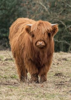 'Young Scottish Highland cow' Canvas Print by HaleyRedshaw Pet Cows, Baby Cows, Baby Farm Animals, Scottish Highland Cow, Highland Cattle, Fluffy Cows, Fluffy Animals, Cute Little Animals, Cute Funny Animals