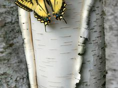 Picture of a swallowtail butterfly on a birch tree in Minnesota - Springing Back to Life PHOTOGRAPH BY JIM BRANDENBURG - Over 93 days in 2014, National Geographic photographer Jim Brandenburg shot springtime images in his home state of Minnesota. This image of a swallowtail butterfly on a birch tree was captured on day 84 of his project.