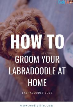 Easy and simple guide to groom your Labradoodle at home. From nose to butt, all the tips you need to groom up a storm! F1b Labradoodle, Australian Labradoodle, Labradoodles, Poodle Mix Breeds, Durable Dog Toys, Puppies Tips, Adoptable Beagle, Labrador Retriever Dog, Bull Terrier Dog