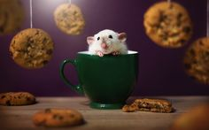 Lataa kuva Hamsteri, cup, lemmikit, söpöjä eläimiä
