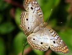 White Peacock Butterfly (Anartia jatrophae) - Flickr - Photo Sharing!