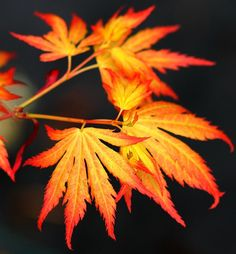 plants * japanese maples Acer palmatum 'Orange Dream' Japanese Maple Tree spring color Baby Name Bra