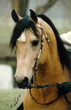 L J Morning Reveille, 1990 Buckskin Morgan Stallion owned by Tindo Morgans