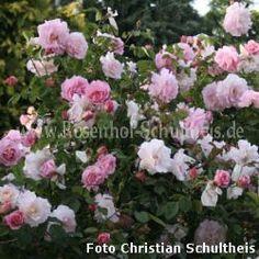 Fritz Nobis #3 - Zartrosa - Rosa_rubiginosa - Historische_Rosen - Container - Rosen von Schultheis