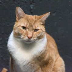 Paris is a male DSH who is a champion biscuit maker, loves chasing crinkle balls, & sleeping with you at night. Paris is available at Anjellicle Cat Rescue, NY,NY.