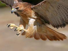sociedadedosanimais.com.br/pesquise-e-conheça-um-pouco-sobre-os-animais: Falcão Peregrino, a ave mais veloz do mundo.