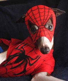 Antonio the Italian Greyhound as Spiderdog!!!!