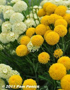 perennial flowers | Portland nursery visits: Joy Creek & Cistus | Digging