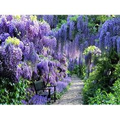 """Amazon.com : Spectacular Blue Moon Wisteria Tree Plant 8-11"""" Tall Potted Plant Fragrant Flowers Seeds BulbsPlants& MoreAttracks Hummingbirds, in Dormancy : Garden & Outdoor Garden Trees, Lawn And Garden, Trees To Plant, Bushes And Shrubs, Lilac Bushes, Long Flowers, Purple Flowers, Planting Bulbs, Planting Flowers"""