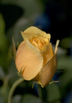 'Graham Thomas' | Shrub. English Rose Collection. David C. H. Austin, 1983 | Flickr - © annemirdl