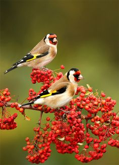 "Goldfinches ~ Beautiful little birds. My mum feeds them in the front garden as they like to be away from the ""common"" sparrows (maybe they are posh). They LOVE Niger seeds... Photo by Sandor Bernath."