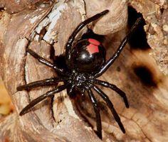 Australia, red back spider