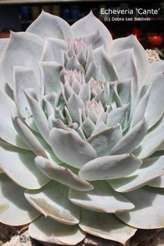Echeveria 'Cante' — This chalky white succulent is a show-stopper and prized by collectors. It's tempting to touch it, but try to resist. Once the powder has been rubbed off the leaves, there's no putting it back.