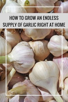 How to Grow an Endless Supply of Garlic Right at Home - Garden Indoor Vegetable Gardening, Organic Gardening Tips, Urban Gardening, Organic Vegetables, Farm Gardens, Gardening For Beginners, Aquaponics, Indoor Plants, Homesteading