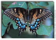 Eastern Tiger Swallowtail, Papilio glaucus (intermediate form female)