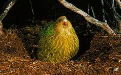 Credit: Alamy Sitting pretty: a kakapo, a giant flightless parrot, calling on Codfish Island in New Zealand Flightless Parrot, Kakapo Parrot, Ugly Animals, Cute Animals, Bizarre Animals, Blobfish, Bird Barn, Barn Owls, Rare Birds