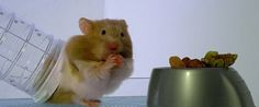 Watch A Hamster Get X-Rayed While Eating - I guess my hips are where my food goes also!