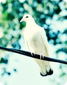 there's a dove cooing outside my window