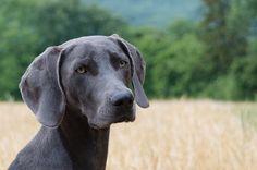 Weimaraner Dogs 101 Fun Facts Information Puppy Names, Dog Names, Blue Weimaraner Puppy, Dressage, Hyperactive Dog, Education Canine, Best Dog Training, Potty Training, Training Tips