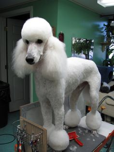 Poodles Grooming Your Furry Friend: Does A Poodle Have To Be Groomed Like A Poodle? Dog Grooming Styles, Poodle Grooming, Pet Grooming, Cortes Poodle, Poodle Haircut Styles, Poodle Hairstyles, I Love Dogs, Cute Dogs, Poodle Tattoo