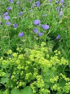 Purple Garden, Colorful Garden, Alchemilla Mollis, English Country Gardens, Herbaceous Perennials, Garden Borders, Geraniums, Horticulture, Gardens