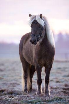 Hübscher Isländer mit Teddyfell und Trense eines Firmenkunden #produktfotos #horsephotography #pferdefotografie