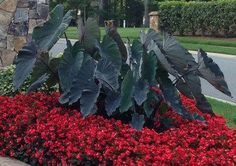 Black Magic Elephant Ear - Colocasia for Sale - Brighter Blooms ...