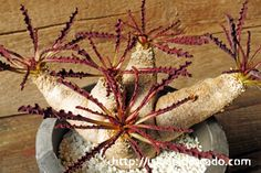 Euphorbia crispa 波涛キリン