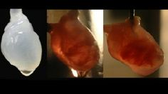Carbon nanotubes make it possible to grow human hearts