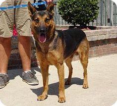 Lathrop, CA - German Shepherd Dog Mix. Meet Dale, a dog for adoption. http://www.adoptapet.com/pet/15351004-lathrop-california-german-shepherd-dog-mix