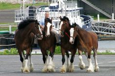 The Budweiser Clydesdale horse team makes a stop at Breitbeck Park for the ...