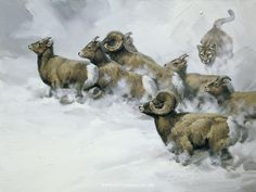 Rocky Mountain Chase - Bighorn sheep painting by Guy Coheleach