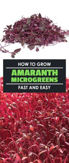 Hydroponic gardening 48202658499532286 - Amaranth microgreens are some of the most visually striking you can grow, and they grow fast too! Learn how to grow and harvest them in under 10 days. Hydroponic Farming, Hydroponic Growing, Aquaponics System, Diy Hydroponics, Backyard Aquaponics, Backyard Landscaping, Organic Gardening, Gardening Tips, Indoor Gardening