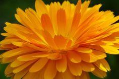 Calendula officinalis - Die Ringelblume