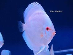 Discus Fish, Nature Aquarium, Freshwater Aquarium Fish, Cichlids, Tropical Fish, Fresh Water, Gifs, Aquarium, Pisces