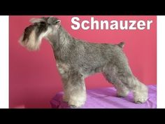 How to groom a Miniature Schnauzer. Sara Hussein, takes you though grooming a Miniature Schnauzer step-by-step. Sponsored by Wahl Clipper. Schnauzers, Schnauzer Breed, Schnauzer Grooming, Standard Schnauzer, Miniature Schnauzer Puppies, Mini Schnauzer, Dog Grooming Styles, Grooming Salon, Pet Grooming