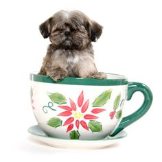 Shih Tzu puppy sitting in a tea cup