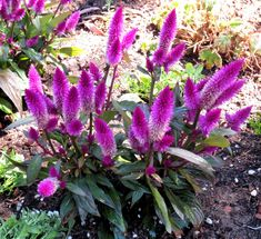 Late to the Garden Party: My favorite plant this week: Celosia argentea var. spicata. Check outsidepride.com for seeds.