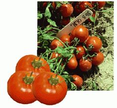 Tomato Problem Solver  A Guide to the Identification of Common Problems