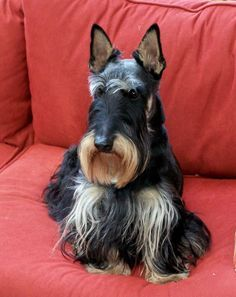 Wow! Never seen one like this beautiful! LOVE this unusual striped boy-- so very handsome! Scottish Terrier Rescue Northwest