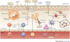 Effector mechanisms for the clearance of Candida.