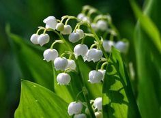 Buy Wholesale Lily of the Valley / Convallaria from Triangle Nursery. An online wholesale florist supplier specialising in wholesale & wedding Lily of The Valley flowers. Furniture Top View, Growing Lilies, Orchid Seeds, Flower Seeds, Lily Of The Valley Flowers, Shade Garden Plants, White Plants, Poisonous Plants, Hardy Perennials