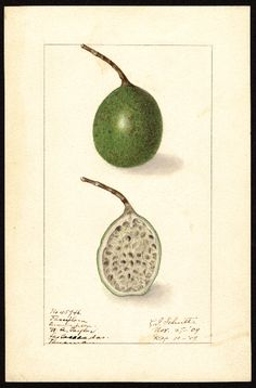 Artist:     Schutt, Ellen Isham, 1873-1955  Scientific name:     Passiflora  Common name:     Passiflora  Geographic origin:     Las Cascadas, Panama