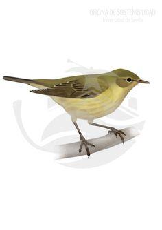 MOSQUITERO COMÚN. De unos 11 cm de longitud. Ave muy pequeña. Su coloración dorsal verde-oliva oscuro queda contrastada por la zona ventral, de un tono amarillento difuso sobre todo en el suroeste europeo.